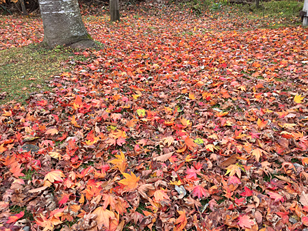 2017 Oct fallen coloured maple leaves